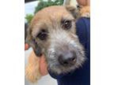 Adopt Andy a Red/Golden/Orange/Chestnut Schnauzer (Miniature) / Mixed dog in