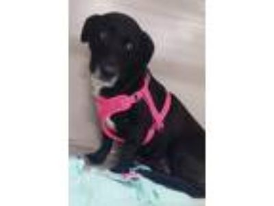 Adopt Rhea a Black - with White Dachshund / Labrador Retriever / Mixed dog in
