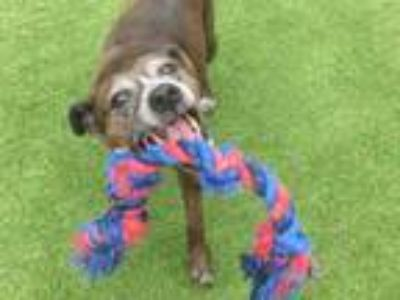 Adopt LACIE a Hound, Mixed Breed