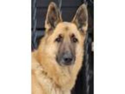 Adopt Lance von Lichtenau a Tan/Yellow/Fawn German Shepherd Dog / Mixed dog in