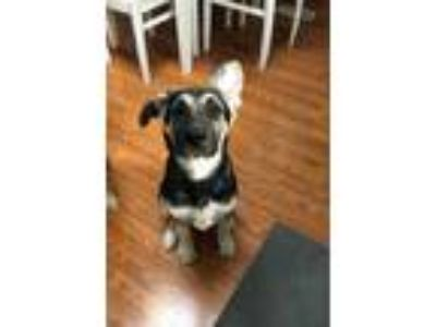 Adopt Thor a Brown/Chocolate - with Black German Shepherd Dog / Mixed dog in