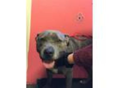 Adopt DOC a Pit Bull Terrier, Mixed Breed