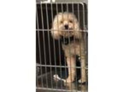 Adopt Uno a Poodle, Mixed Breed