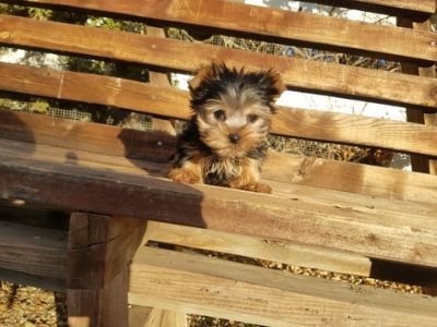 Yorkshire Terrier PUPPY FOR SALE ADN-104447 - Tiny Teacup Yorkie Boy