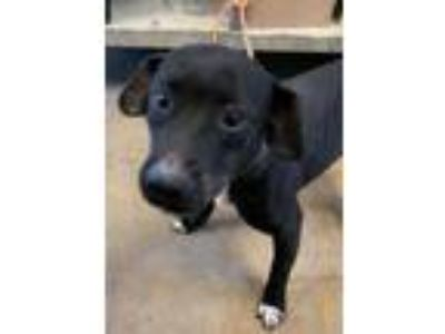 Adopt Zada(tagged for rescue) a Black Dachshund / Retriever (Unknown Type) /