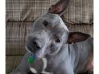 Adopt Scout a Brown/Chocolate - with Black American Pit Bull Terrier / Mixed dog