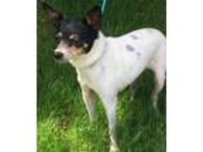 Adopt Tinkerbelle bonded : Penny a Rat Terrier