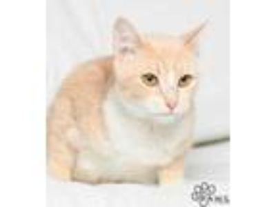 Adopt Lalisa a White Domestic Shorthair / Domestic Shorthair / Mixed cat in