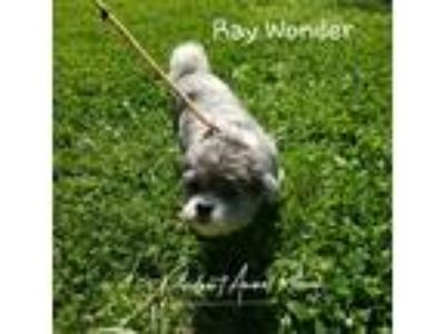 Adopt Ray Wonder a Gray/Silver/Salt & Pepper - with White Shih Tzu / Mixed dog