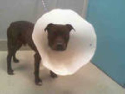 Adopt *CHACO TACO a Brown/Chocolate American Pit Bull Terrier / Mixed dog in Las