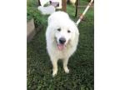 Adopt SANFORD a Great Pyrenees
