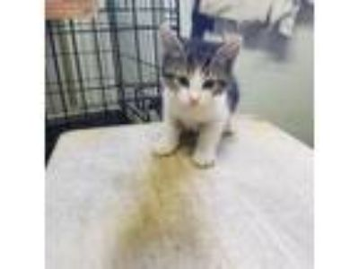 Adopt Thunder a White Domestic Shorthair cat in Starkville, MS (25881204)