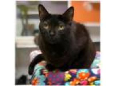 Adopt Radiant 170145 a Domestic Short Hair