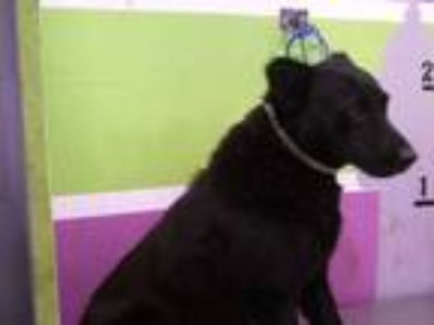 Adopt MARIO a Black Chow Chow / Mixed dog in Houston, TX (25556035)