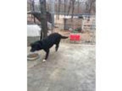 Adopt Violet a Black - with White Border Collie / Mixed dog in Blanchard
