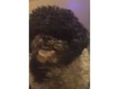 Adopt Rusty a Poodle