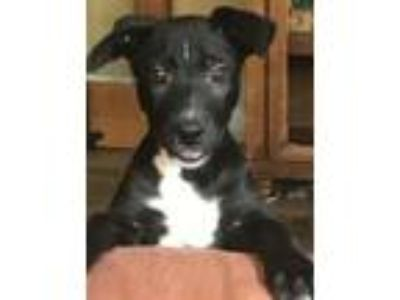 Adopt Riptide a Black - with White Shepherd (Unknown Type) / Labrador Retriever