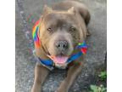 Adopt King a Gray/Blue/Silver/Salt & Pepper American Pit Bull Terrier / Mixed
