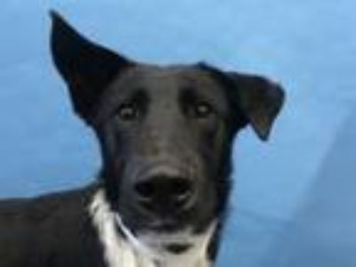 Adopt Arwen a Border Collie, Mixed Breed