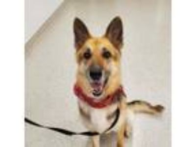 Adopt Sasha a Black German Shepherd Dog / Mixed dog in Indianapolis