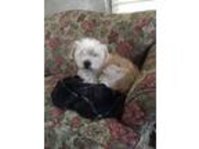 Adopt Max a White Cairn Terrier / Westie, West Highland White Terrier / Mixed