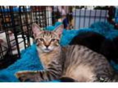 Adopt Ariel a Brown Tabby Domestic Shorthair / Mixed (short coat) cat in St.