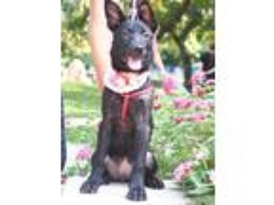 Adopt Penzi a Black Collie / Labradoodle / Mixed dog in Castro Valley
