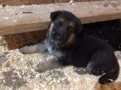 German Shepherd Dog PUPPY FOR SALE ADN-94331 - German shepherd puppies