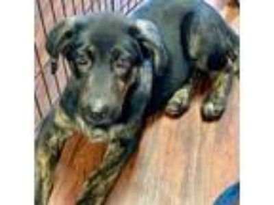 Adopt Gill a Black Plott Hound / Mixed Breed (Medium) dog in Kaufman