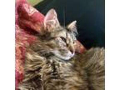 Adopt Jackie Joyner a Domestic Longhair / Mixed cat in East Brunswick