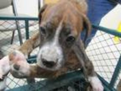 Adopt 41916314 a Brown/Chocolate Boxer / Mixed dog in Shreveport, LA (25538034)