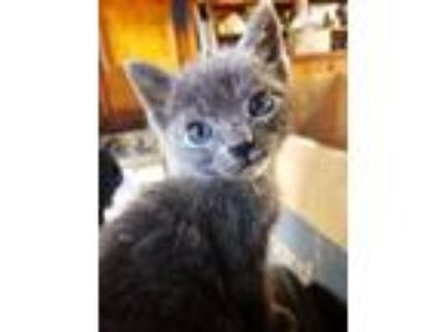 Adopt Ghost a Russian Blue
