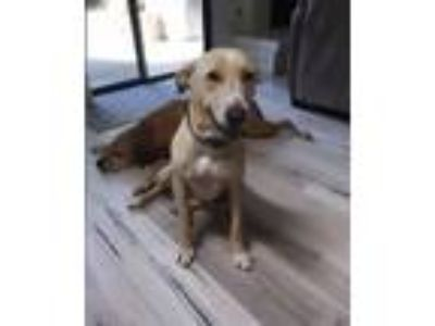 Adopt Bailey a Labrador Retriever, Hound