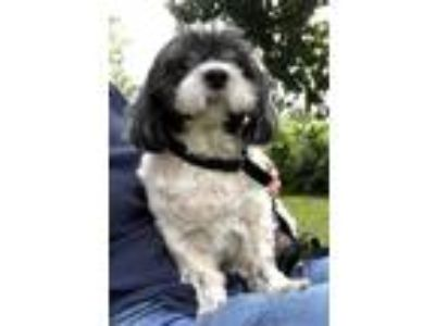 Adopt Dewey a Shih Tzu / Lhasa Apso / Mixed dog in Davie, FL (24153730)