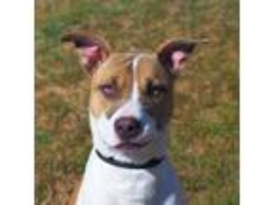 Adopt Sour Patch a Cattle Dog / Staffordshire Bull Terrier / Mixed dog in