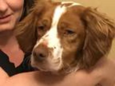 Adopt IN/Cody a Brittany / Mixed dog in Pierre, SD (25193822)
