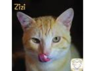 Adopt Zizi a Domestic Shorthair / Mixed (short coat) cat in Washburn