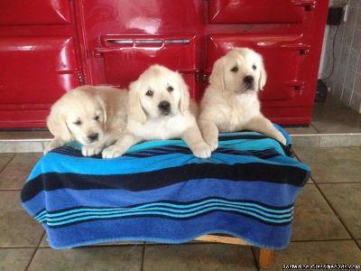 Stunning Golden Retriever Puppies