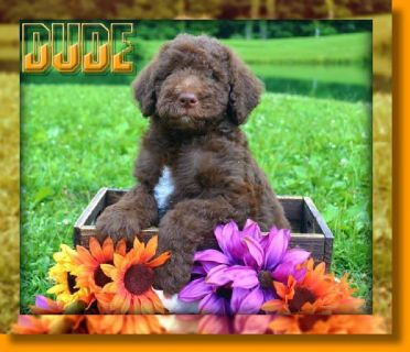 Dude Male F1B Labradoodle