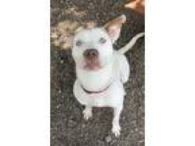Adopt David Bowie a Pit Bull Terrier