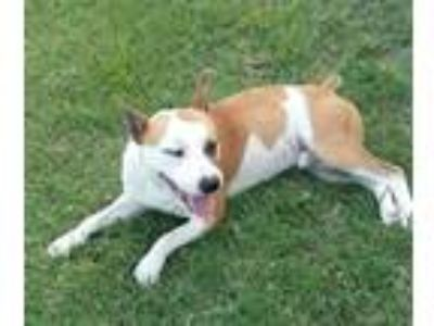 Adopt Rascal a Red/Golden/Orange/Chestnut - with White Cattle Dog /