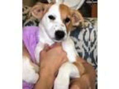 Adopt Johannah a White - with Tan, Yellow or Fawn Terrier (Unknown Type