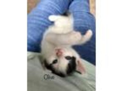 Adopt Olive C2698 a Domestic Short Hair