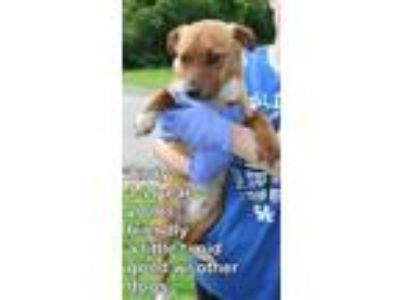 Adopt Andy L a Terrier (Unknown Type, Medium) / Pomeranian / Mixed dog in Homer
