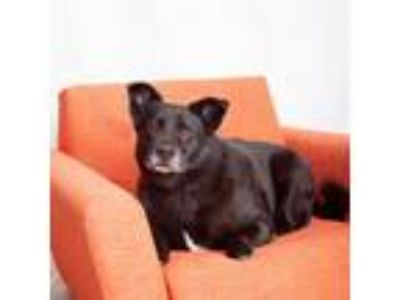 Adopt Cabbage a Black Labrador Retriever / German Shepherd Dog / Mixed dog in