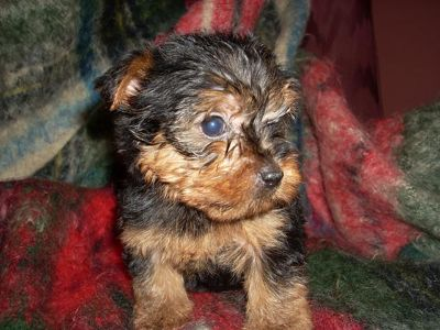 $500, Yorkshire Terrier Puppies