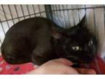 Adopt Indi a Domestic Short Hair