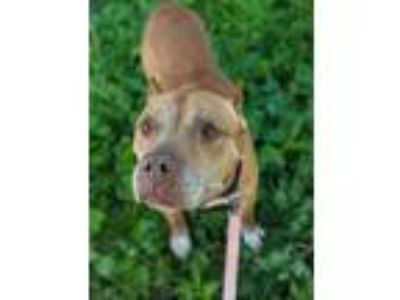 Adopt Isaiah a American Pit Bull Terrier / Mixed dog in Pittsburgh
