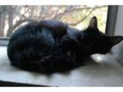 Adopt Leya a All Black Domestic Mediumhair / Mixed cat in Calexico