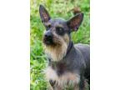 Adopt Harry a Schnauzer, Chinese Crested Dog